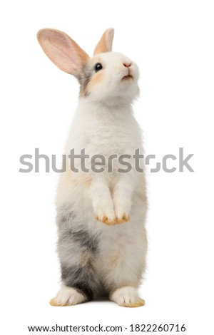 Three-colored new-born rabbit standing and looking at the top. Studio shot, isolated on white background