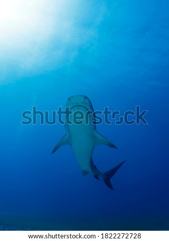 Tiger Shark Swimming Towards the Suface. Tiger Beach, Bahamas
