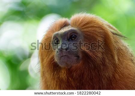 Portrait of endangered species Golden Lion tamarin, or Mico-Leão-Dourado,(Leontopithecus rosalia), brazilian endemic primate Royalty-Free Stock Photo #1822280042