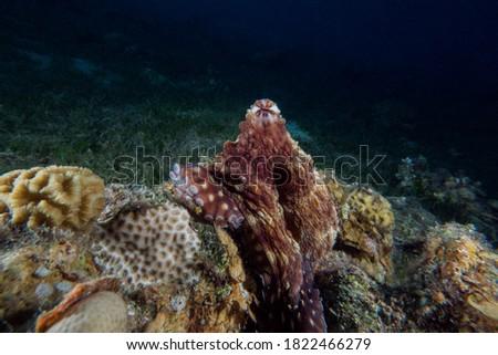 Octopus , red sea reef , eilat