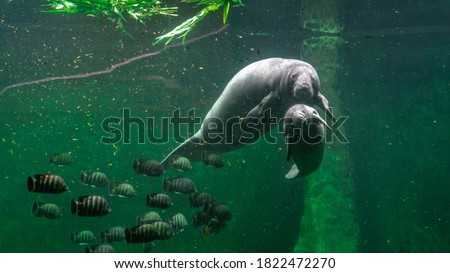 Big adult manatee and a baby swimming inside aquarium