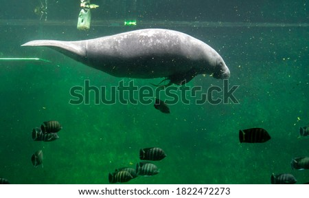 Big adult manatee swimming inside aquarium