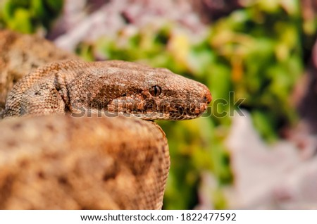 The boa constrictor (Boa constrictor), also called the red-tailed boa or the common boa #1822477592