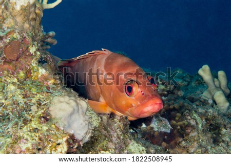Black tip grouper fish from the red sea