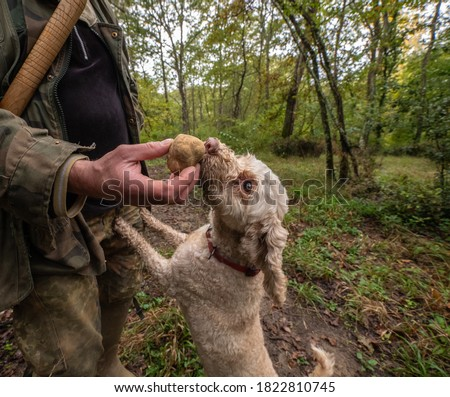 Hunting truffles, a dog just found a rare white truffle in autumn forest. Delicious food Royalty-Free Stock Photo #1822810745
