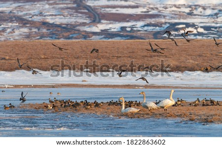 White tundra swans and a flock of pintail ducks on the banks of a frozen river. Wild birds in the tundra in the Arctic. Cold morning in late May. Spring in the Far North. Wildlife of Chukotka. Russia.