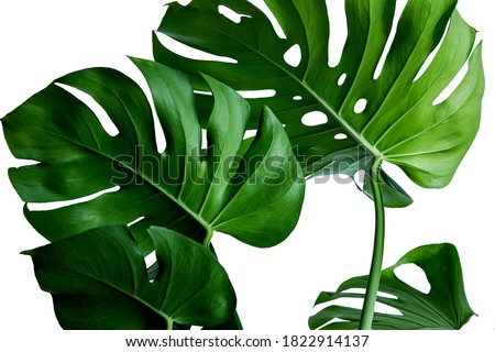 Dark green leaves of monstera or split-leaf philodendron (Monstera deliciosa)tropical foliage isolated on white background, clipping path included. Royalty-Free Stock Photo #1822914137