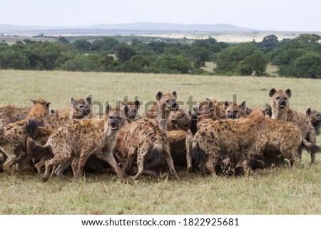 Hyenas clan feeding on wildebeest