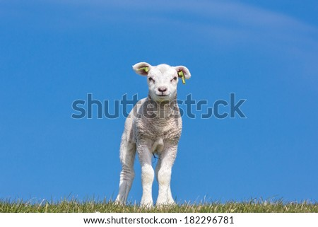 Lamb standing on the grass under a blue sky #182296781