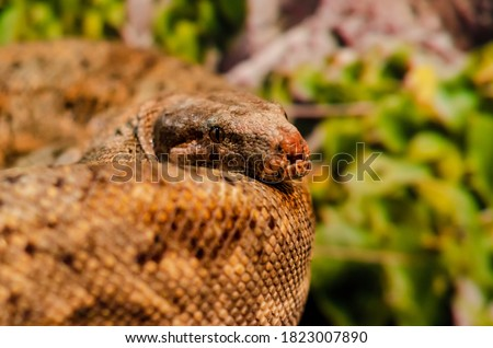 The boa constrictor (Boa constrictor), also called the red-tailed boa or the common boa #1823007890