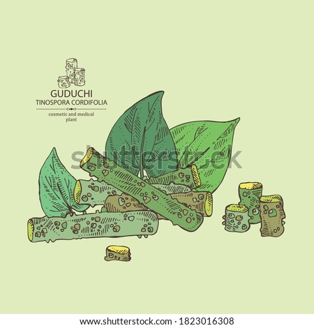 Background with guduchi : giloy plant and guduchi leaves. Tinospora cordifolia. Cosmetic and medical plant. Vector hand drawn illustration #1823016308