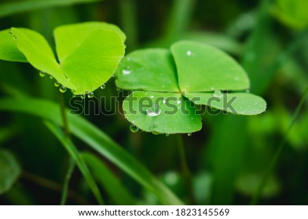 Dew on leaves.Drop of dew in morning on clover leaf.Raindrop fallen on the green clover leaf. Royalty-Free Stock Photo #1823145569