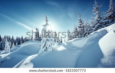 Splendid Alpine scenery in winter. Fantastic frosty morning in forest. snow-cowered pine trees under sunlight. Fantastic mountain highland.  Amazing winter background. Wonderful Christmas Scene