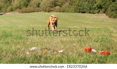 Beautiful dog runs towards his toy. Picture from the movement. #1823370266