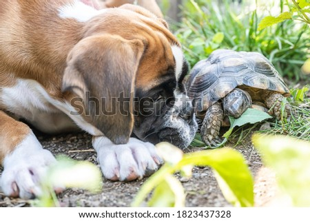 Greek land Turtle testudo marginata and purebreed german boxer Dog best friends in love in the garden Royalty-Free Stock Photo #1823437328