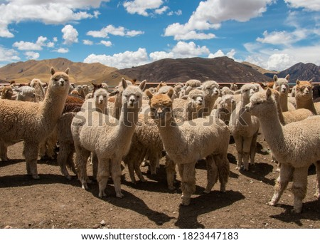 Herd of Alpacas Grazing in Peru, near Cusco in the Andes Mountains Royalty-Free Stock Photo #1823447183