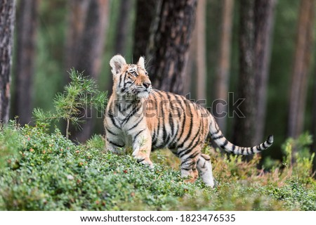Ussuri tiger. The master of taiga. The Siberian Tiger. Portrait of Usurian Tiger in a wild autumn landscape in sunny day.. A young tiger in wildlife. #1823476535