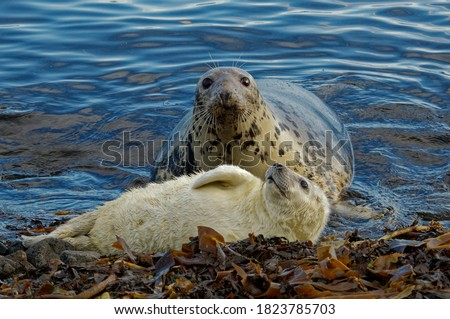 Grey Seal  (Halichoerus grypus) Cow and pup,whitecoat,resting on beach.Portrait. Royalty-Free Stock Photo #1823785703