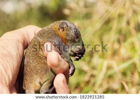 Pallas's squirrel pup hold in hands. The cub fell out of the nest. Thailand