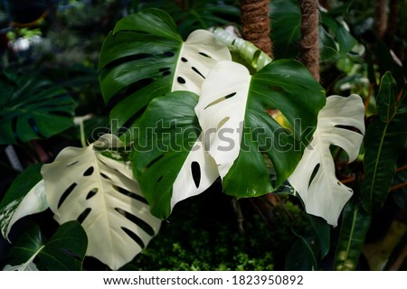 Monstera Albo half moon variegated borsigiana plant in the garden Royalty-Free Stock Photo #1823950892