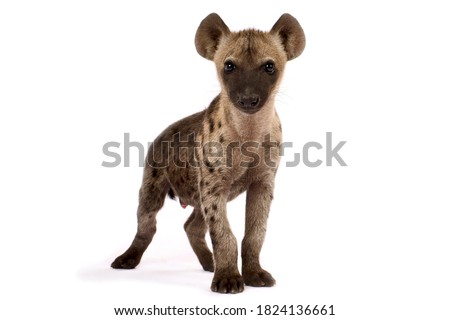 The Spotted hyena (Crocuta crocuta)