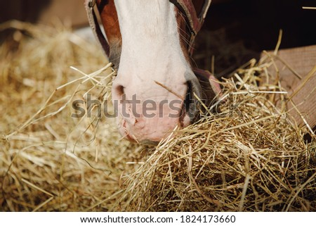 closeup portrait of horse nose and mouth eating hay from feeder in horse paddock in autumn in daytime Royalty-Free Stock Photo #1824173660