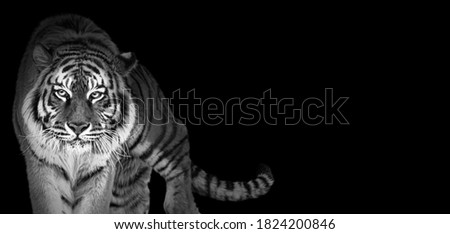 Tiger portrait in black and white colors, World wildlife day concept, spectacular majestic proud animal walking forward, wide low key toned banner background with panthera tigris and empty copy space Royalty-Free Stock Photo #1824200846