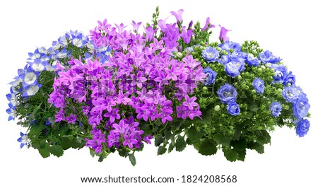 Campanula. Cut out blue and pink flowers. Flower bed isolated on white background. Bush for garden design or landscaping. High quality clipping mask. #1824208568