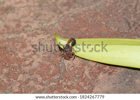 Closeup to a Colombian endemic scorpio named Tityus columbianus over a green leaf and red stone. Wild Life Concept