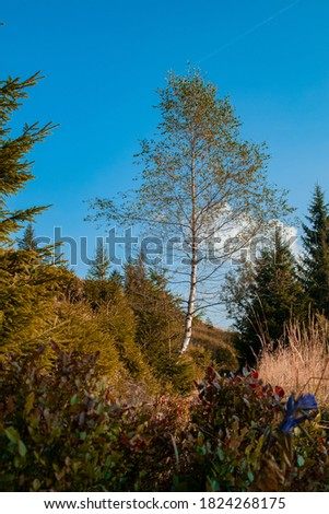 landscape vertical picture of birch lonely tree in wilderness environment space in clear weather day time