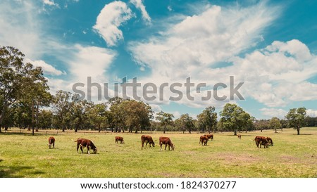 Cows grazing on a dairy farm in Adelaide Hills area, South Australia #1824370277