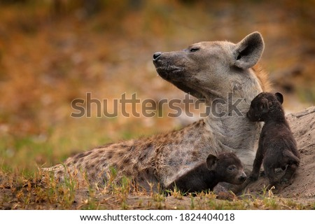 Animal pup nature, Okavango, Botswana. Young hyena pup, evening sunset light. Hyena, detail portrait. Spotted hyena, Crocuta crocuta, angry animal near the water hole, beautiful evening sunset and cub