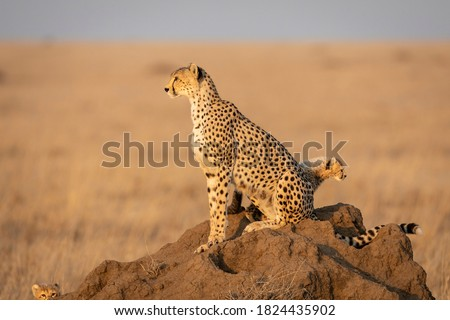 Cheetah mother and baby cheetahs sitting on a termite mound in golden afternoon light looking alert in Serengeti Tanzania #1824435902