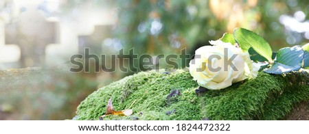 white rose on grave on cemetery, banner Royalty-Free Stock Photo #1824472322