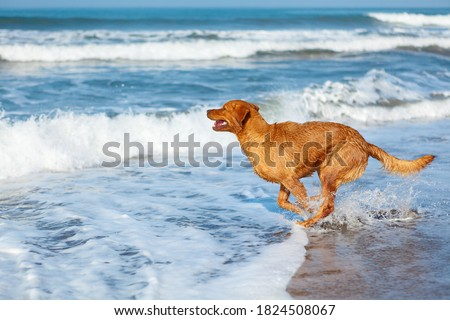 Photo of golden retriever walking on sand beach. Happy dog wet after swimming run with water splashes along sea surf. Actions, training games with family pets and popular dog breeds on summer vacation Royalty-Free Stock Photo #1824508067