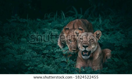 tiger  and wild life 4k pictures