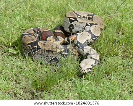 The boa constrictor constrictor, also called the redtail boa, is a giant snake that is widespread in South America and in captivity. Royalty-Free Stock Photo #1824601376