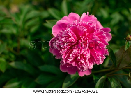 Bright colorful flower on dark green foliage nature background. Close up macro shot of pink peony bud. Beautiful summer spring natural fonts. Greeting card, screensaver concept, copy space