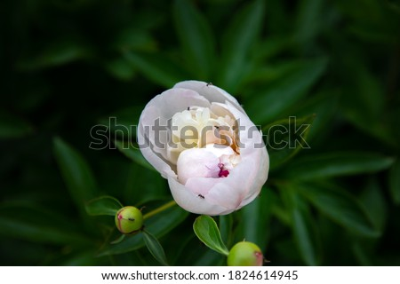 Light pink flower on dark green foliage nature background. Close up macro shot green bush with colorful peony bud with ants. Beautiful summer spring natural fonts. Greeting card, screensaver concept