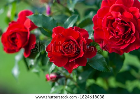 Lady Ryder of Warsaw rich crimson red roses - modern british shrub by Harkness Royalty-Free Stock Photo #1824618038