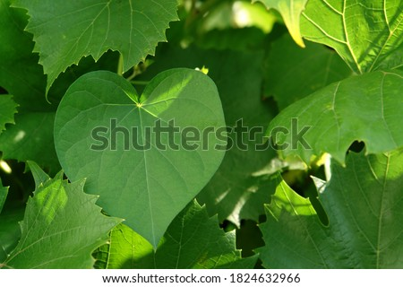 A heart shaped leaf of Ipomoea purpurea (common / tall morning-glory or purple morning glory) on green vine, close-up, selective focus, copy space for text. Leaf like a heart in sunlight