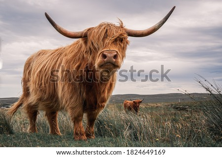 Striking Couple of Highland Cows Captured on the North Coast of Scotland Royalty-Free Stock Photo #1824649169