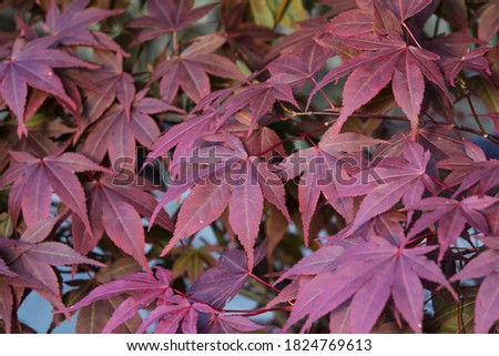 Japanese maple leaf background in autumn. Colourul red maple leaves Royalty-Free Stock Photo #1824769613