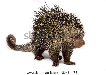 The Brazilian porcupine (Coendou prehensilis)