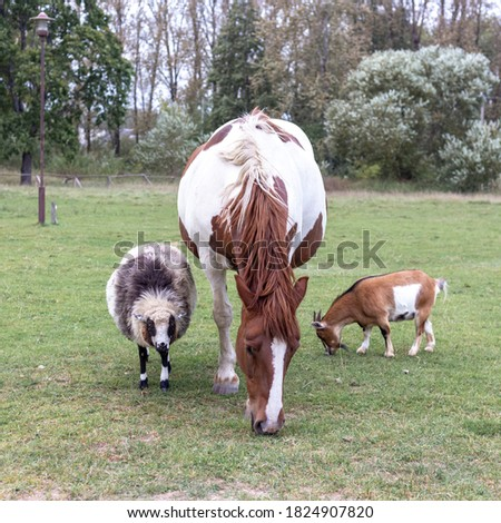 White and brown horse, sheep and goat in the pasture