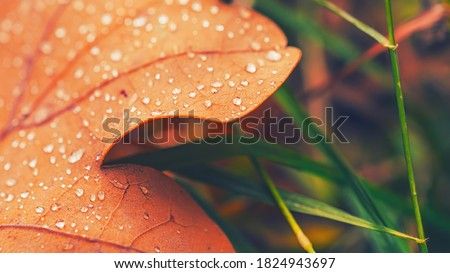 Dry fall leaf texture detail. Abstract background of autumn beauty of forest nature. Fresh dew water drops. Brown oak sheet vein structure. Wet droplet on tree plant close up. Eco flora macro closeup. Royalty-Free Stock Photo #1824943697