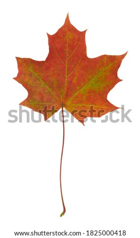 Norway maple, Acer platanoides leaf in autumn colors isolated on white background #1825000418