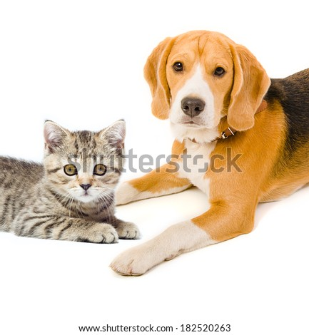 Kitten Scottish Straight and beagle dog #182520263