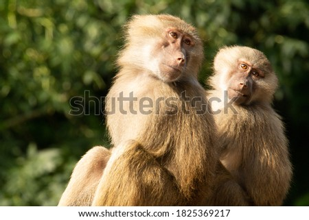 two adult  Hamadryas baboons resting with a natural green background