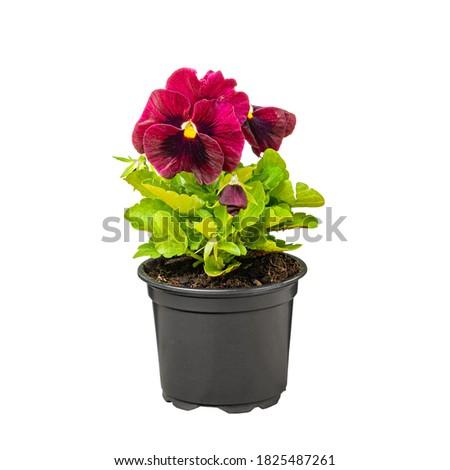 Pansy, Viola wittrockiana flowers in a black plastic pot